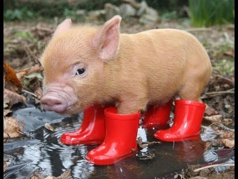 How An Adorable Pig Could Take Down The Internet