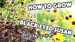 HOW TO GROW RUDBECKIA BLACK EYED SUSAN FROM SEED / SOWING / SEED SAVING // A BEAUTIFUL NEST
