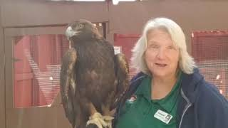 Weekend Raptor Talk | Aquila, Golden Eagle | May 2, 2020 | Nature & Wildlife Discovery Center