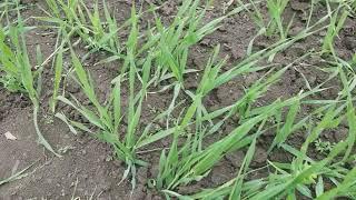 Яровой ячмень Гелиос ранний 90-93 дней. Высокоурожайный сорт Гелиос с отличной устойчивостью к засухе, болезням. Элита от компании ТД «АВС СТАНДАРТ УКРАЇНА» - видео 2