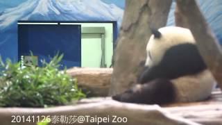 20141126-彪哥和圓仔說了什麼? The Giant Panda Yuan Zai