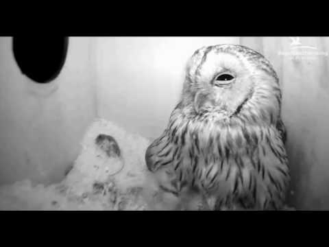 Tawny Owls: Going to Sleep - 01.04.17