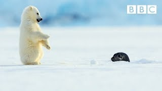 Polar Bear Cub Is Surprised By A Seal - Snow Bears: Preview - BBC One