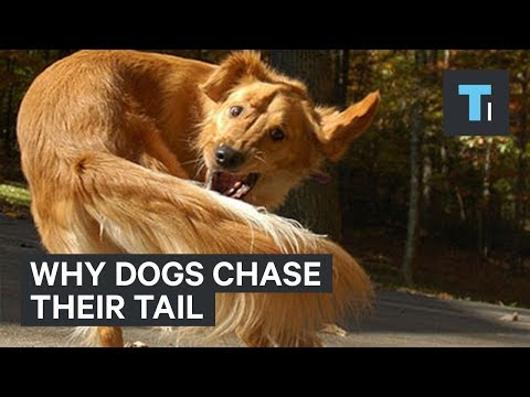 Here's what it could mean when your dog chases its tail