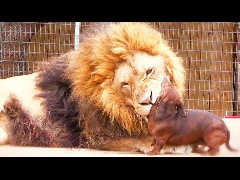 Zvířata si pomáhají - Ozzy Man