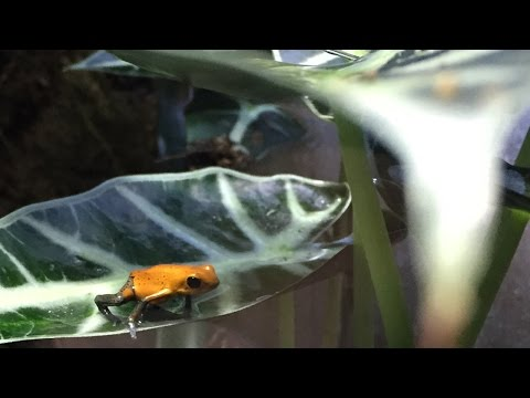 BEGINNERS GUIDE TO DART FROGS!!