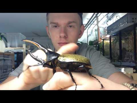O besouro-hércules