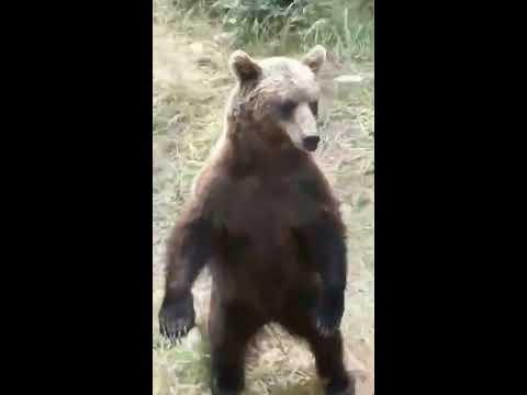 В Якутии толпа медведей попрошайничает у транспорта с людьми
