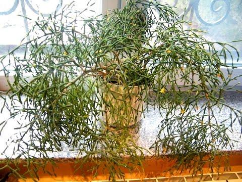Хатиора -  сукулент, комнатные цветы. Выращивание, уход, размножение
