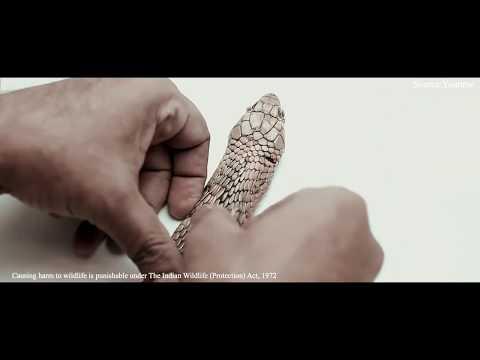 MYTH No.3: Cobras carry a precious gem on their hood