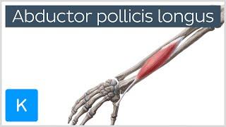 Abductor pollicis longus muscle - Origin, Insertion, Innervation & Function - Human Anatomy |Kenhub MP3
