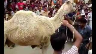 preview picture of video 'Camel Qurbani Block-L, North Nazimabad, Karachi'