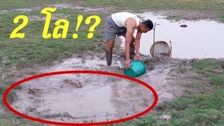 #วิดน้ำปลักควายจับปลาข่อนได้ปลา 2 กิโล มาไง!?เยอะจริง