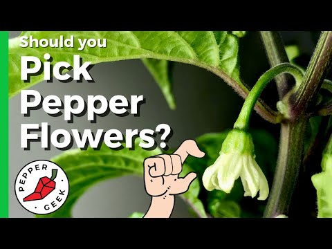 , title : 'Should You Pick Early Pepper Flowers?