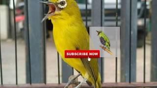 Masteran Pleci 2019#tahap02/audio Pleci,suara Pleci Nembak