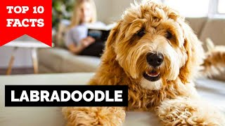 Labradoodle - Top 10 Facts
