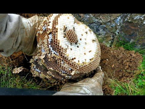 UNDERGROUND Yellow Jacket Nest Removal