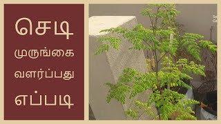 செடி முருங்கை வளர்ப்பது எப்படி | How To Grow Moringa Plant