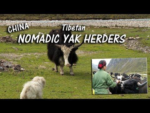 Life Among the Tibetan Nomadic Yak Herders