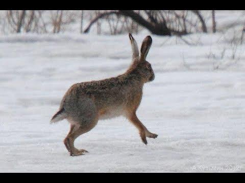 Охота на зайца 13.02.2018 г.