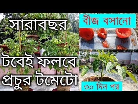 , title : 'সারাবছর টবেই করুন টমেটোর চাষ / How to grow tomatoes from tomato