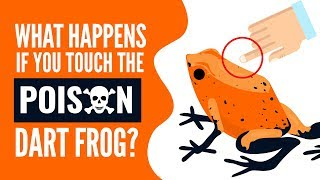 Poison Dart Frog : Planets Deadliest Animal??? What Happens If You Touch A Poison Dart Frog?