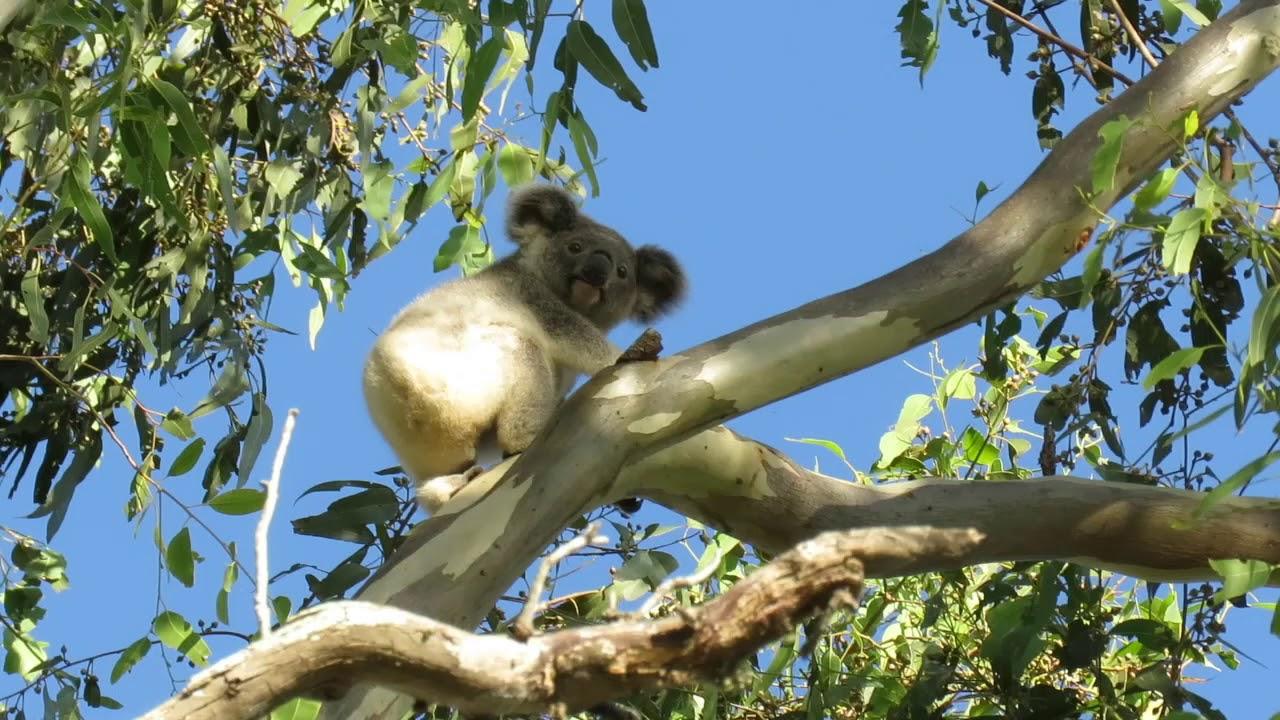 Juvenile koala behaviour – Dewdrop