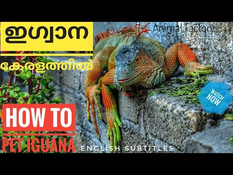 How to pet IGUANA? | Malayalam | Animal Factory