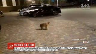 В Мережу виклали відео прогулянки левеняти вулицями Одеси
