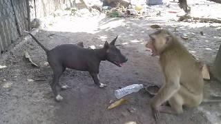Monkey vs Dog 2
