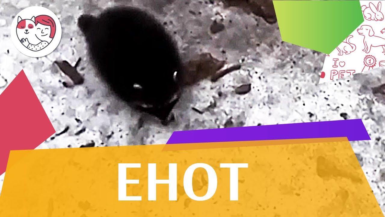 Енот Способы передвижения на ilikepet