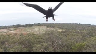Eagle vs Drone - 2m Wedge-Tailed Eagle takes down Drone. Watch it Punch it out of the sky