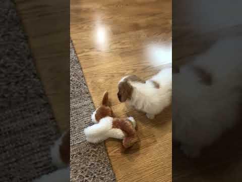Rip..Cute Beagle-Doodle