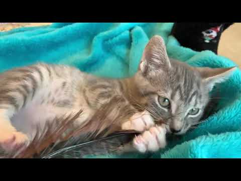 Stan, an adopted Domestic Short Hair & Tabby Mix in Duluth, GA