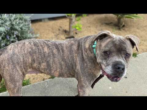 Dulce, an adoptable English Bulldog & Pit Bull Terrier Mix in Pasadena, CA