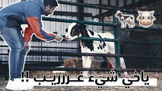 ليه كانت تبكي البقرة    🐄 Why this cow was crying