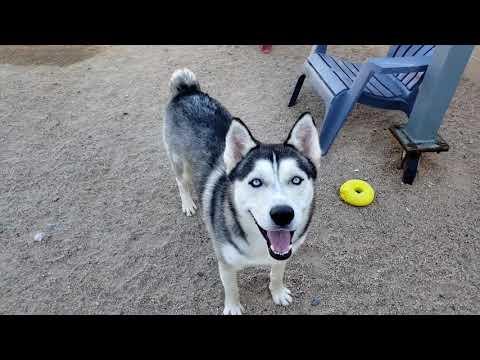 RANGO, an adoptable Siberian Husky Mix in Phoenix, AZ