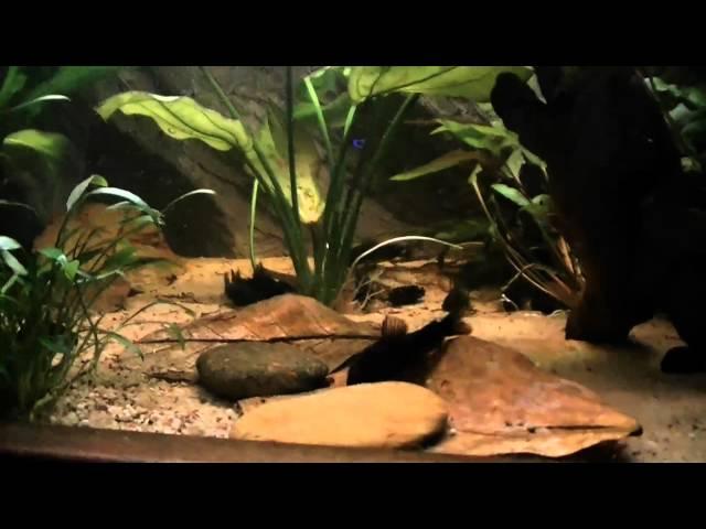 Corydoras black venezuela breeding tank.mp4