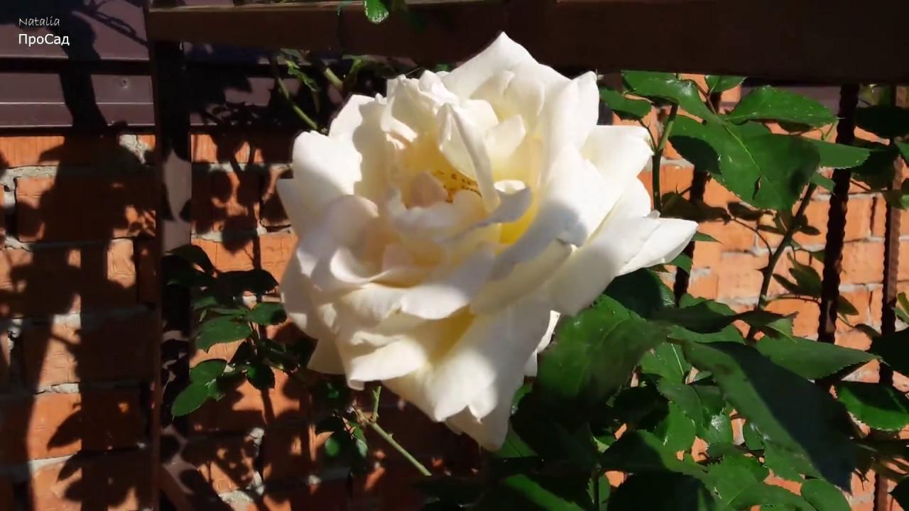 Роза Tantau Schneewalzer (TANrezlaw, Schneewalzer 87) в моём саду.