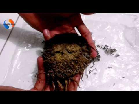 Video Cara memanen bunga matahari