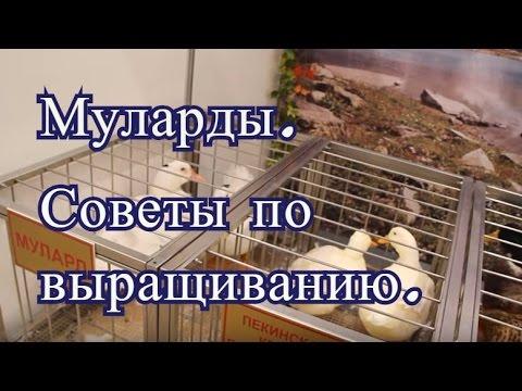 Муларды. Советы по выращиванию с Выставки Золотая Осень 2016.