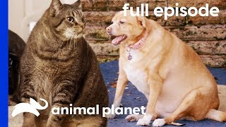 Flabby Tabby and Chunky Chihuahua | My Big Fat Pet Makeover (Full Episode)
