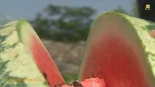 Smart Farm: Watermelon Farming