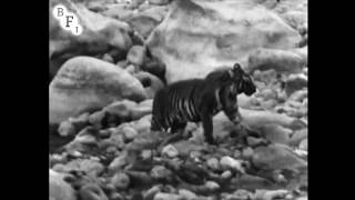 Wandering Tigers in North India (1935) - amateur film shot by Jim Corbett