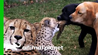Cheetahs and Puppies Grow Up To Become Best Friends | The Zoo