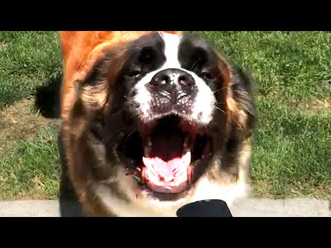 Cute and Funny Saint Bernards! St Bernard Videos 🐶