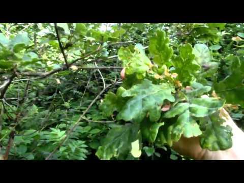 Schiwiza zeder- und die Schuppenflechte