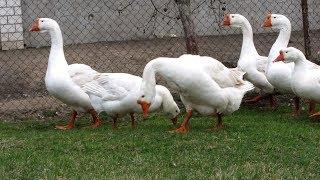 Как едят гуси клюют или нет