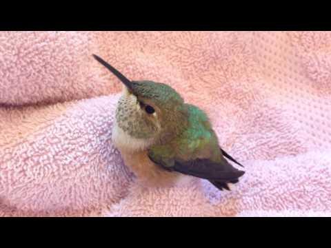 Een baby kolibri