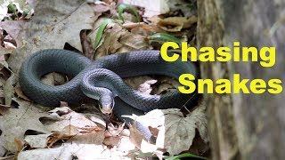 Chasing Blue Racer Snakes- They climb trees?